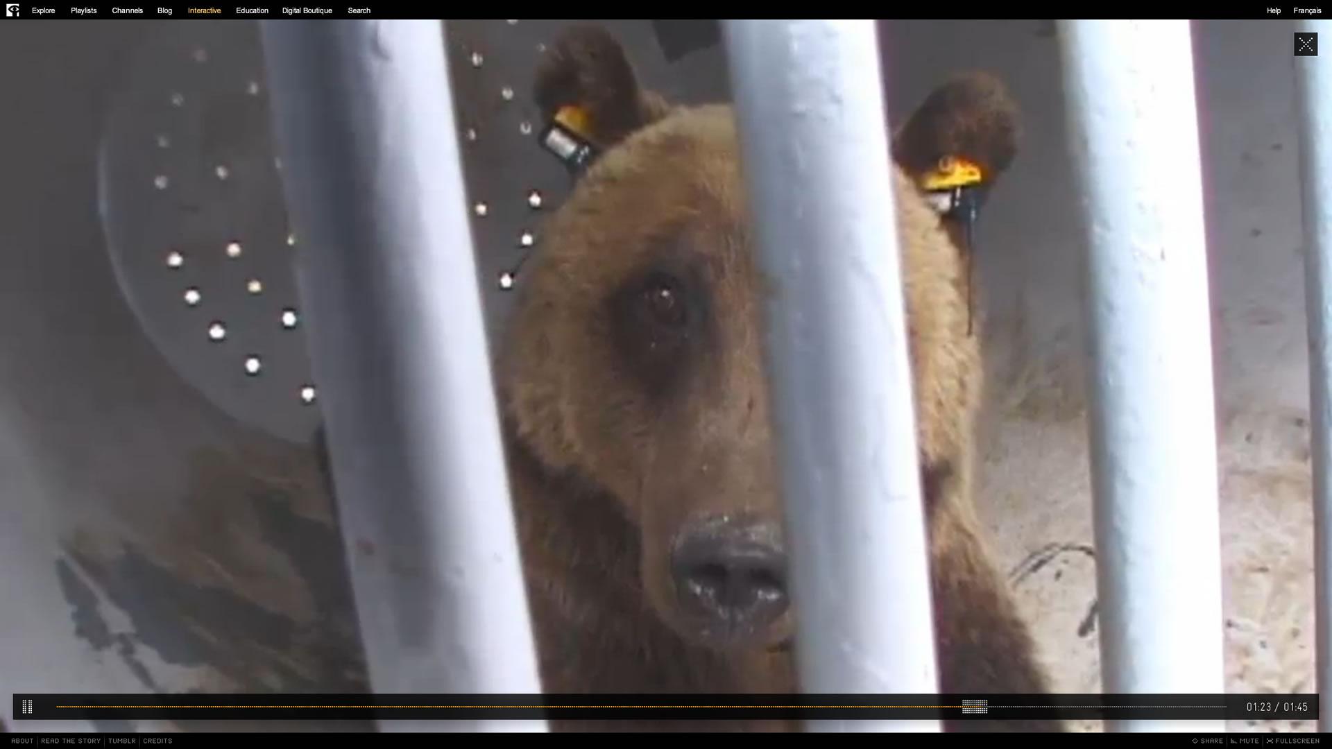 Bear 71 - Bear Behind Bars